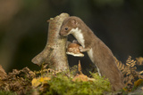 Weasel (Mustela Nivalis) Investigating Birch Stump with Bracket Fungus in Autumn Woodland