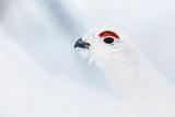 Male Willow Grouse - Ptarmigan (Lagopus Lagopus) Portrait  Inari Kiilopaa  Finland  February