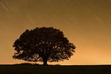English Oak Tree (Quercus Robur) Silhouetted Against Orange Sky with Star Trails
