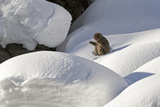 Japanese Macaque (Macaca Fuscata) Adult Chewing on Stick in Snow  Jigokudani  Japan