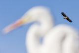 White-Tailed Eagle (Haliaeetus Albicilla) Flying