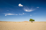 Elm Tree (Ulmus) in Gobi Desert  South Mongolia