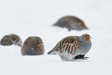 Four Grey Partridges (Perdix Perdix) on Snow  Kauhajoki  Finland  January