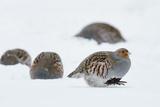 Four Grey Partridges (Perdix Perdix) on Snow  Kauhajoki  Finland  January