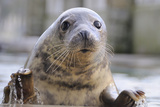 Rescued Grey Seal Pup (Halichoerus Grypus)