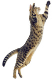 Silver Tabby Domestic Cat (Felis Catus) Leaping  UK