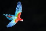 Red-And-Green Macaw (Ara Chloropterus) in Flight  Pantanal  Brazil August