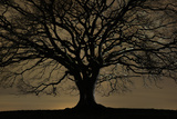 English Oak Tree (Quercus Robur) in Moonlight  Nauroth  Germany  February