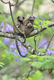 Family of White-Tufted-Ear Marmosets (Callithrix Jacchus) with a Baby