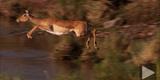 Female Impala (Aepyceros Melampus) Crossing River  Masai Mara  Kenya