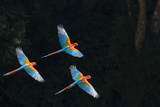 Red-And-Green Macaw (Ara Chloropterus) Group of Three in Flight  Pantanal  Brazil August
