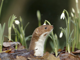Weasel (Mustela Nivalis) Looking Out of Hole on Woodland Floor with Snowdrops