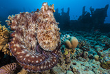 Reef Octopus (Octopus Cyanea) Portrait Near Wreck Gubal Island  Egypt Red Sea