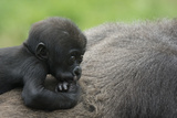Western Lowland Gorilla (Gorilla Gorilla Gorilla) Baby Age 45 Days