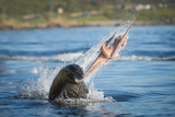 South African Fur Seal (Arctocephalus Pusillus Pusillus) Bull Breaking Apart Octopus