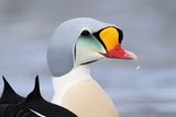 King Eider Duck (Somateria Spectabilis) Male  Batsfjord Village Harbour  Varanger Peninsula  Norway
