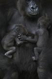 Western Lowland Gorilla (Gorilla Gorilla Gorilla) Twin Babies Age 45 Days Sleeping