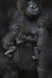 Western Lowland Gorilla (Gorilla Gorilla Gorilla) Twin Babies Age 45 Days Sleeping Papier Photo par Edwin Giesbers