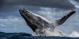 Humpback Whale (Megaptera Novaeangliae) Breaching During Annual Sardine Run Papier Photo par Wim Van Den Heever