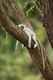 Vervet Monkey (Chlorocebus Aethiops) Resting in Tree