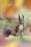 Red Squirrel (Sciurus Vulgaris) in Autumnal Woodland Leaflitter, the Netherlands, November Papier Photo par Edwin Giesbers