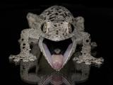 Mossy Leaf-Tailed Gecko  (Uroplatus Sikorae) Captive from Madgascar