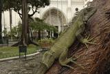 Common Green Iguana (Iguana Iguana) Living Wild in Parque Seminario  Guayaquil  Ecuador 2005