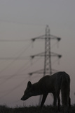 Urban Red Fox (Vulpes Vulpes) Silhouetted with an Electricity Pylon in the Distance