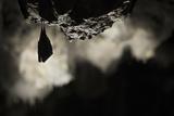Greater Horseshoe Bat (Rhinolophus Ferrumequinum) Roosting in Cave. Croatia. November Papier Photo par Alex Hyde