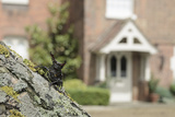 Stag Beetle (Lucanus Cervus) in Defensive Posture; Male in Garden Where it Emerged Naturally