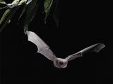 Long Fingered Bat in Flight (Myotis Capaccinii) Europe Papier Photo