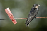 Juvenile Swallow (Hirundo Rustica) Perched on Clothes Line Bradworthy  Devon  UK