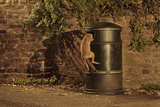 Urban Red Fox (Vulpes Vulpes) Cub Climbing into Litter Bin to Scavenge Food  West London  UK  June