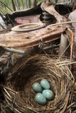 Blackbird (Turdus Merula) Nest with Eggs in Abandoned Car Motor in 'Car Graveyard' Varmland  Sweden