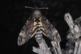 Deaths Head Hawk Moth  Spain