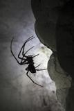 European Cave Spider (Meta Menardi) in Limestone Cave Plitvice Lakes National Park  Croatia