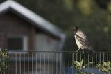 Hooded Crow (Corvus Cornix) Perched on a Garden Fence  Berlin  Germany  June