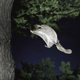 Southern Flying Squirrel (Glaucomys Volans) Landing on Tree Trunk  Captive