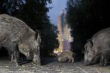 Wild Boar (Sus Scrofa) Sow