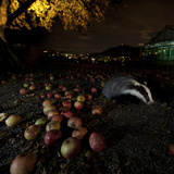 Badger (Meles Meles) under a Garden Apple Tree at Night Freiburg Im Breisgau  Germany  November