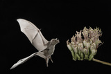 Lesser Long-Nosed Bat (Leptonycteris Curasoae) Flying Papier Photo par Rolf Nussbaumer