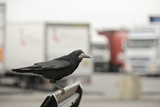 Rook (Corvus Frugilegus) Perched in Motorway Service Area  Midlands  UK  April