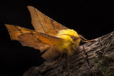 Canary-Shouldered Thorn Moth (Ennomos Alniaria) Peak District National Park  Derbyshire  UK