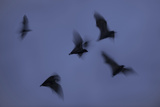 Straw-Coloured Fruit Bats (Eidolon Helvum) Leaving Roost Site at Dusk