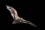Male Hoary Bat (Lasiurus Cinereus) in Flight Papier Photo par Michael Durham