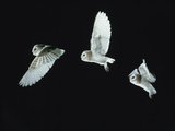 Barn Owl (Tyto Alba) in Flight Time-Lapse Captive  UK