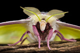 Indian Moon Moth - Indian Luna Moth (Actias Selen) Head-On View Showing Feather-Like Antennae