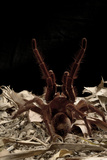 Goliath Bird-Eating Spider (Theraphosa Leblondii - Blondi) Aggressive Display