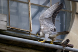 Adult Female Peregrine Falcon (Falco Peregrinus) Stretching Her Wings Whilst Perched on Scaffolding