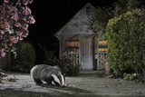 European Badger (Meles Meles) Feeding on Food Left Out in Urban Garden  Kent  UK  May